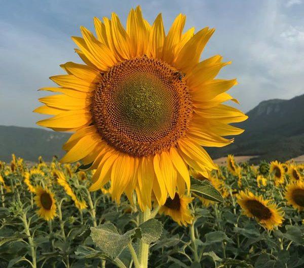 گل آفتابگردان، مزارع شمال